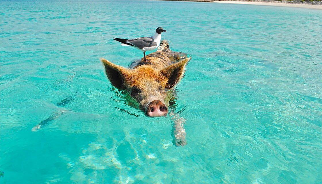 Предимствата на свинския колаген